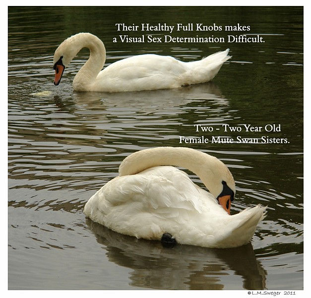 Female Mute Swans