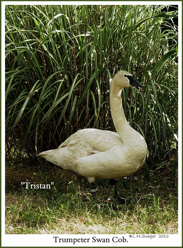 Trumpeter Swan Cob