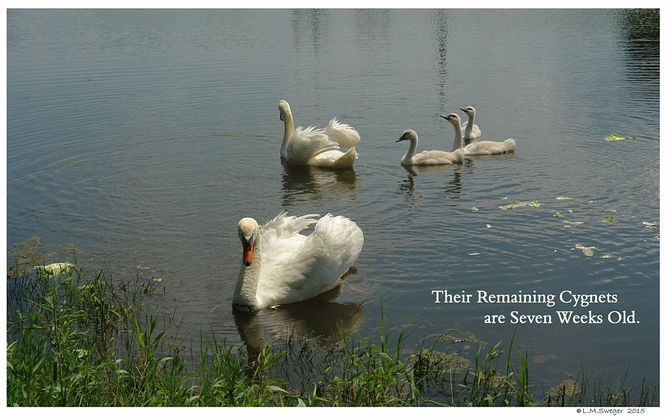 Polish Mute Swans Swans DNA-Sex Testing