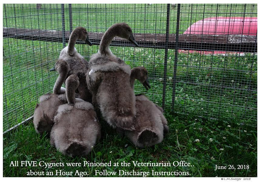 Pinion Mute Cygnets Swans DNA-Sex Testing