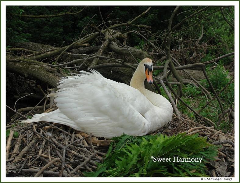 Mute Swan Harmony Nest