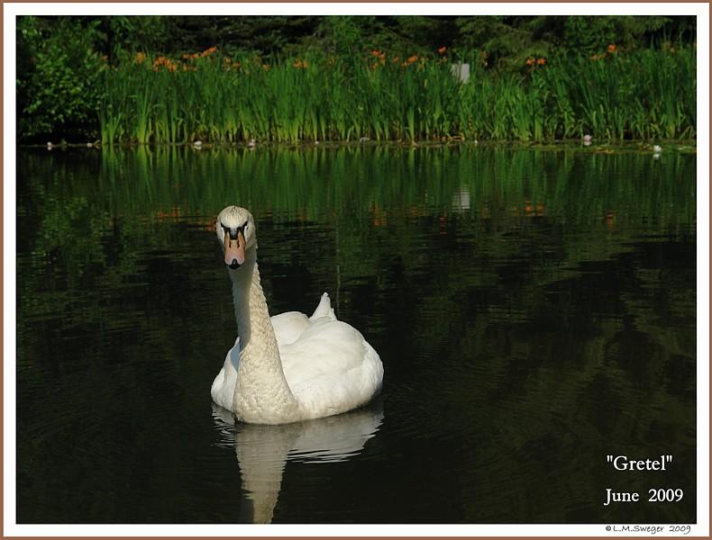 Female Mute Swan Gretel