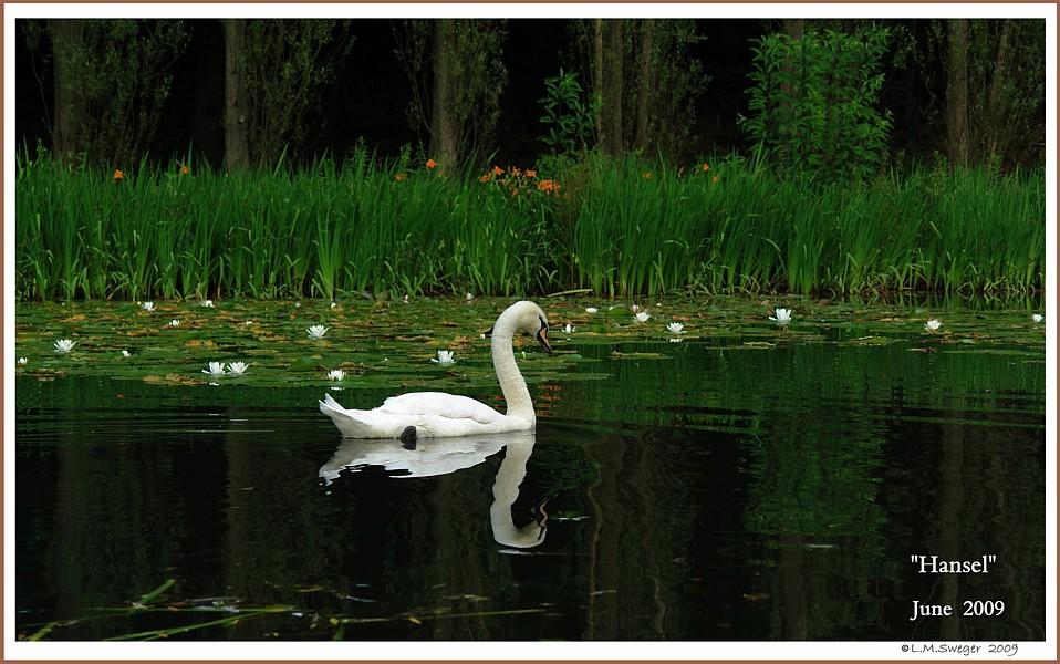 Young Mute Swan Hansel