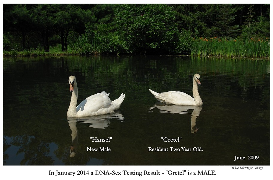Mute Swans Swans DNA-Sex Testing