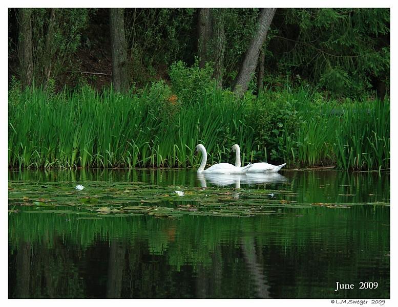 Mute Swan Companions