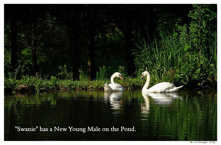 Swan Companions Swans DNA-Sex Testing