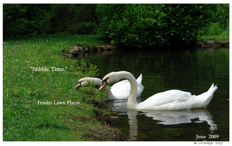 Swan Chin Impaction
