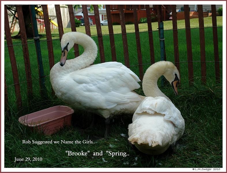 Female Mute Swan Sisters  Brooke  Spring