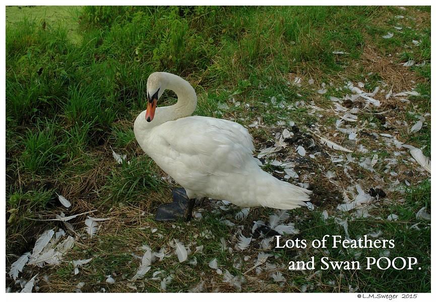 Swan Standing in Poop Swans DNA-Sex Testing