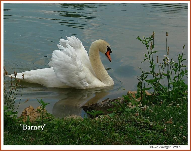 Mute Swan Barney