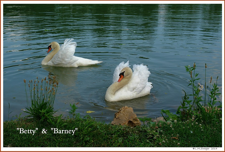 Mute Swans Betty Barney