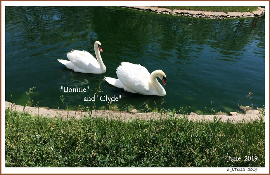Bonnie and Clyde Swans