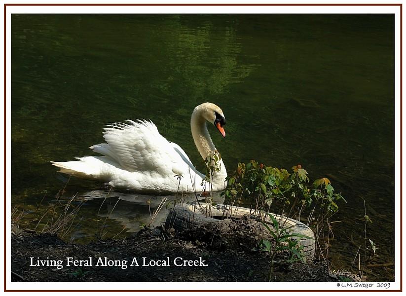 Pennsylvania Feral Mute Swan
