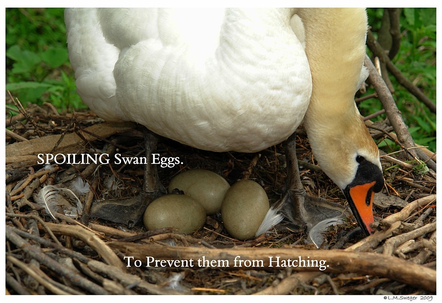 Spoiling Mute Swan Eggs