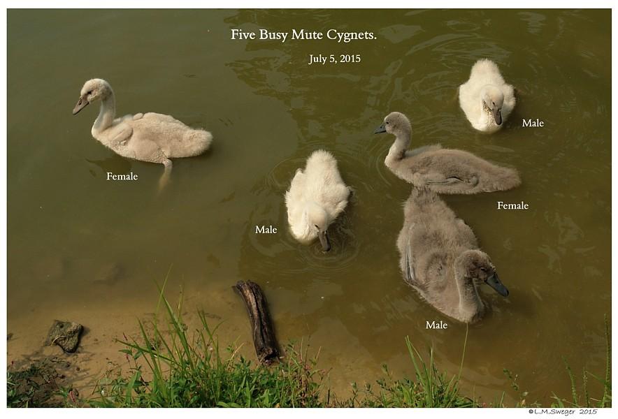 Mute Cygnets Swans DNA-Sex Testing
