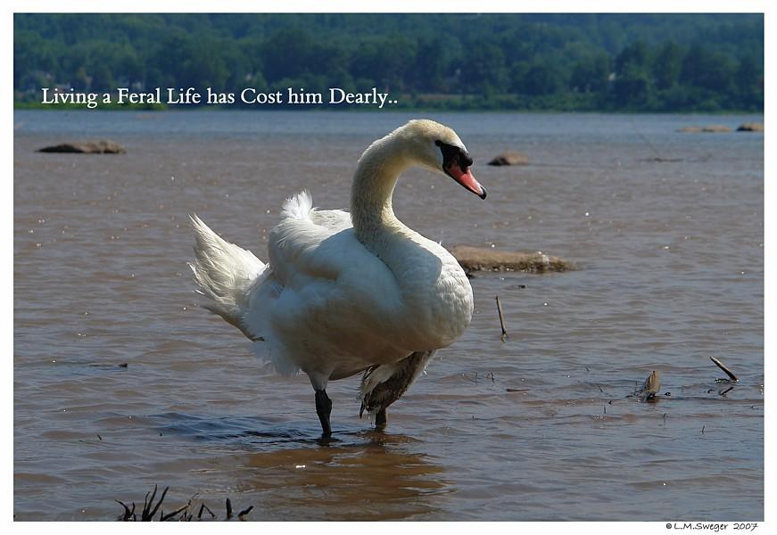 Feral Mute Swan
