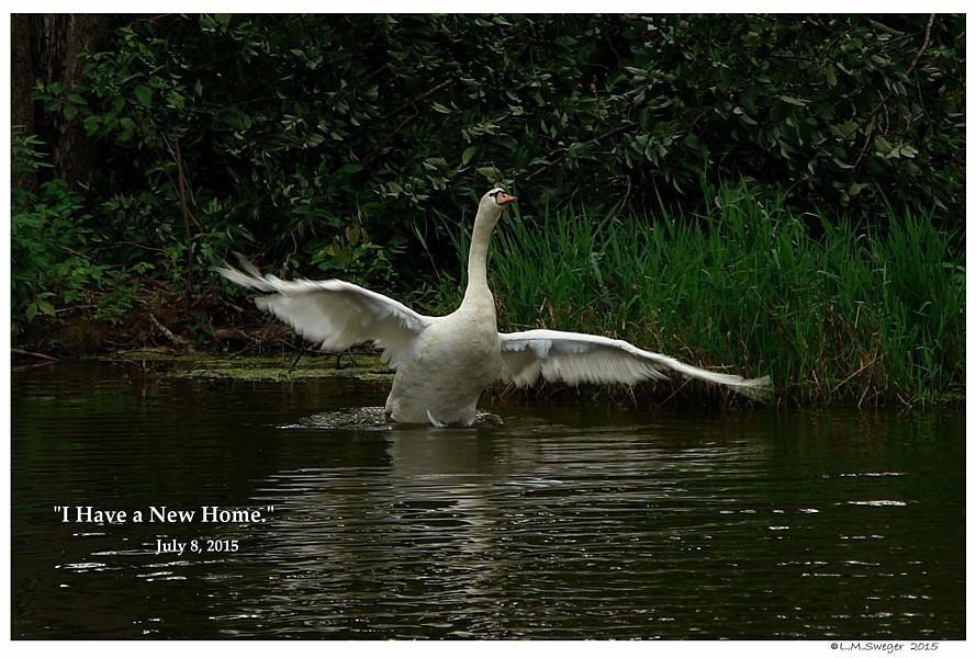 Rescued Male Mute Swan