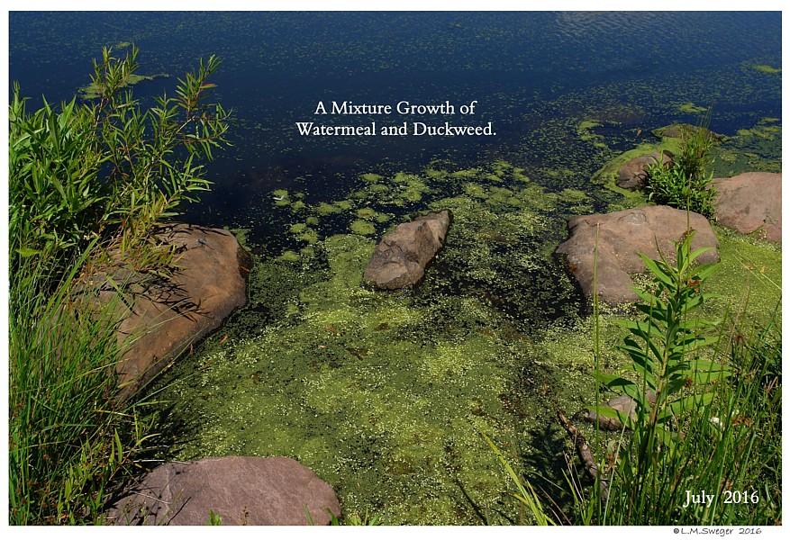 Pond Watermeal Duckweed Captive Mute Swans Feeding Swans