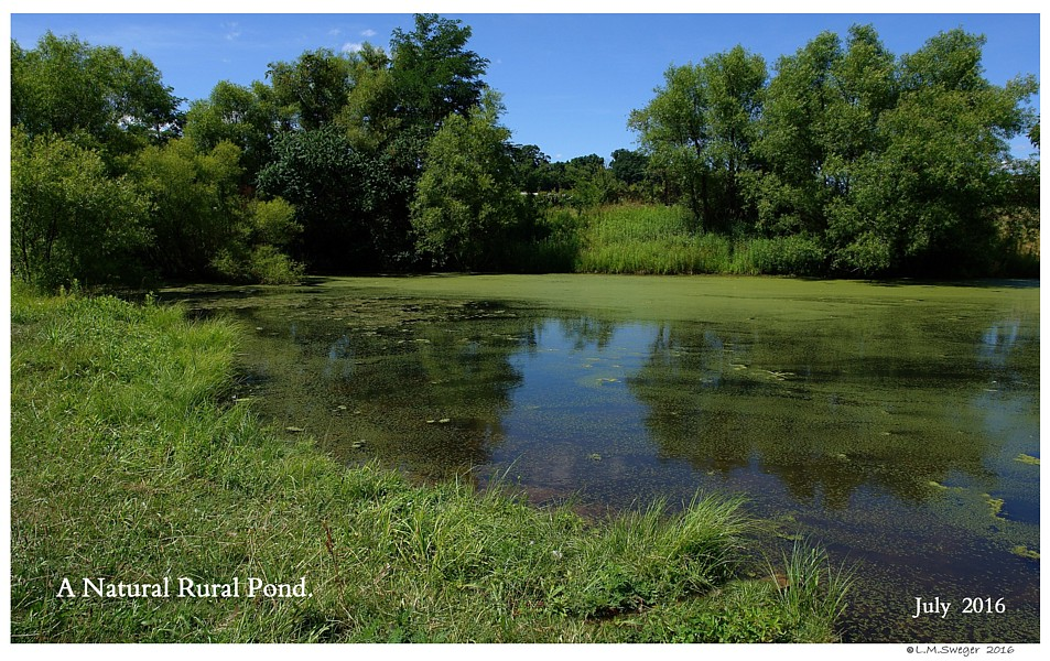 Natural Rural Pond Captive Mute Swans Feeding Swans
