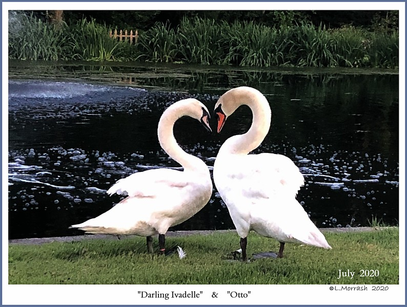 Mute Swan Pair   Darling Ivadelle  Otto