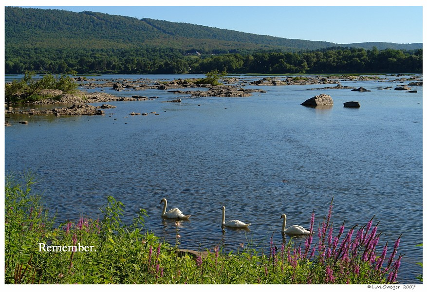The Last Mute Swans