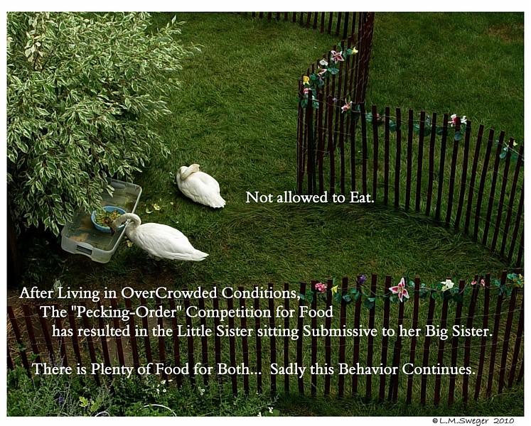Swan Pecking Order