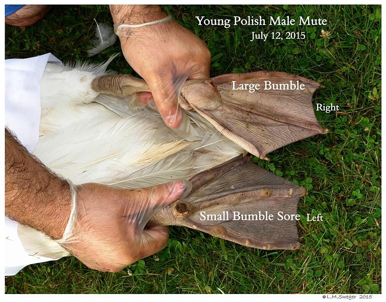 Swan Bumble Foot Sore Swans DNA-Sex Testing