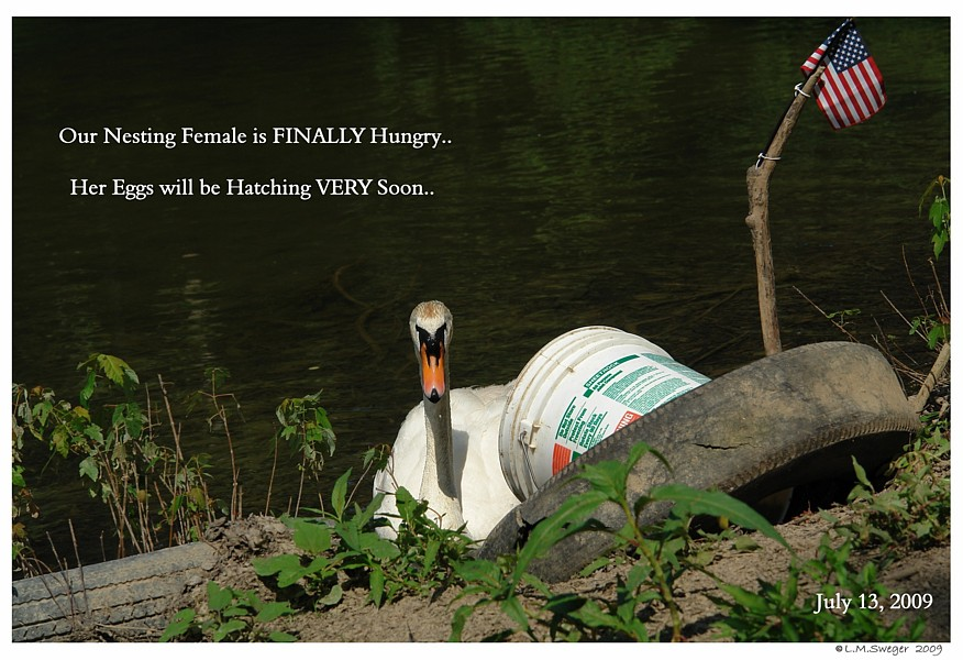 Nesting Female Swan