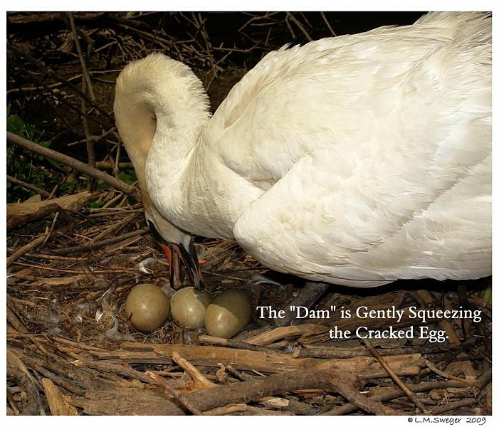 Swan Eggs Hatching