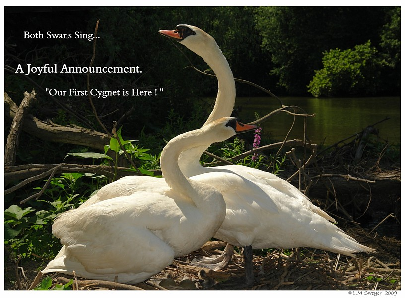 Swans Sing a Joyful Song