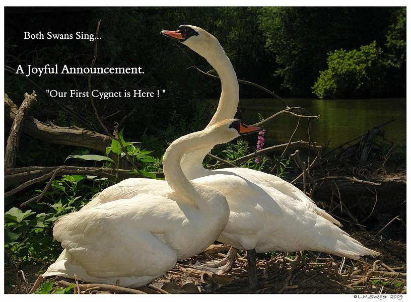 Swans Sing a Joyful Song
