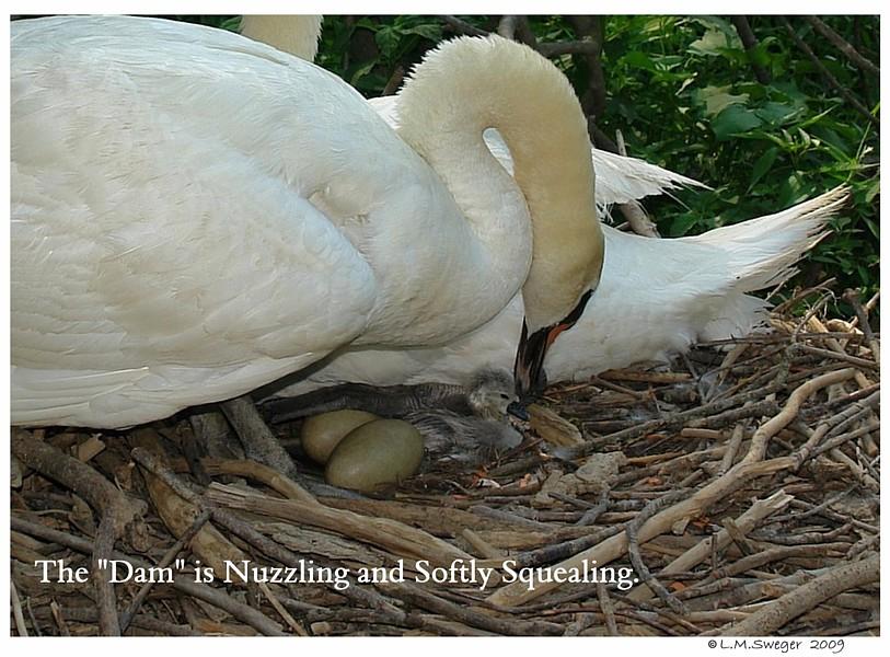 Swan Talking to Egg