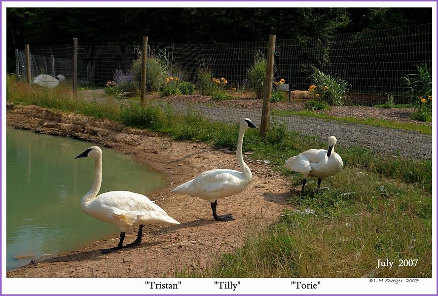 Trumpeter Swans  Tristan  Tilly  Torie