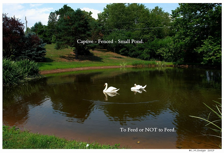 Captive Mute Swans