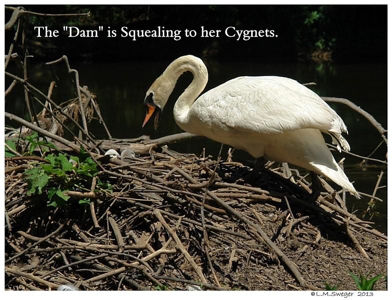 Swan talks to Cygnets