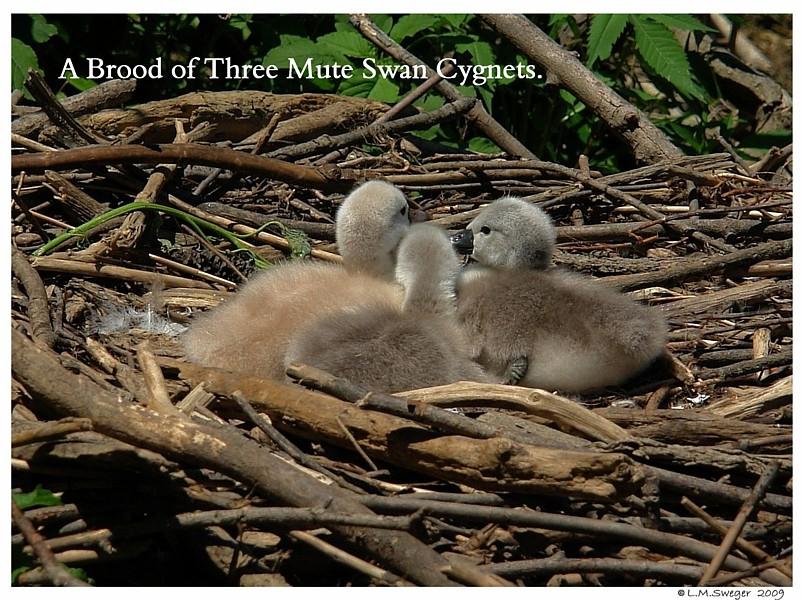 Mute Swan Brood