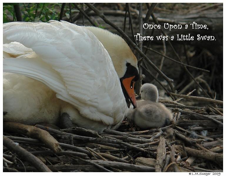 Swan Talking to Cygnet