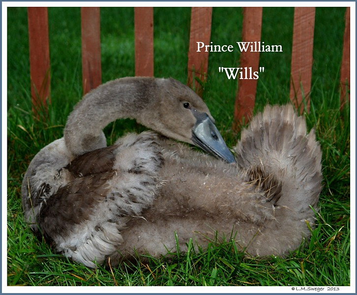 Mute Swan Cygnet William
