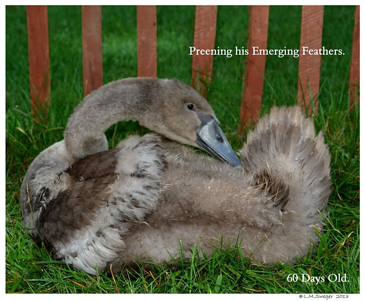 True Swan Feathers Swans DNA-Sex Testing