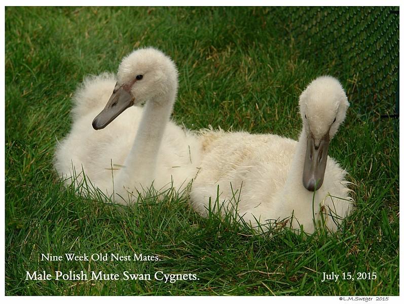 Male Polish Mute Cygnets Swans DNA-Sex Testing
