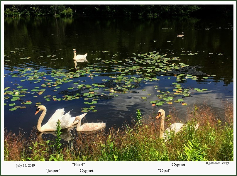 Rescued Mute Swans