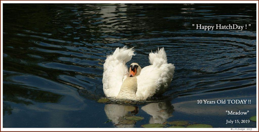 Male Mute Swan Cob Meadow
