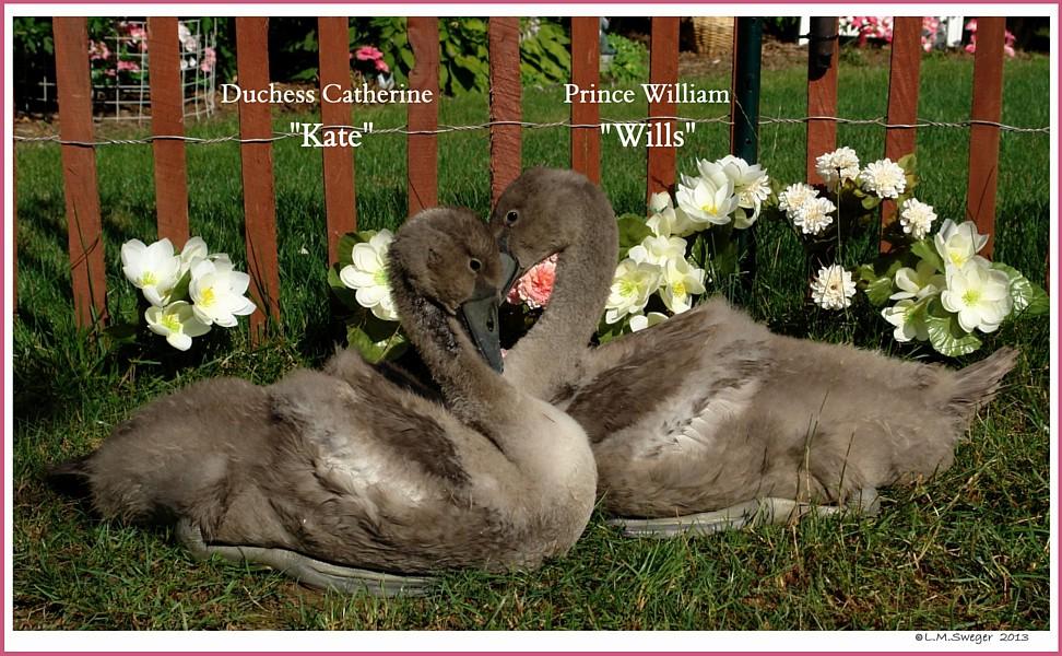 Mute Swan Cygnets Kate Wills