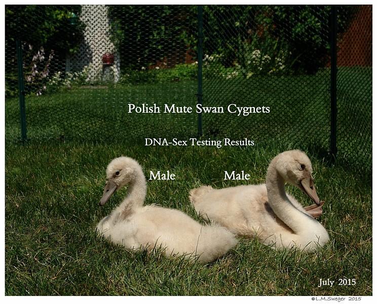 Polish Mute Cygnets Swans DNA-Sex Testing