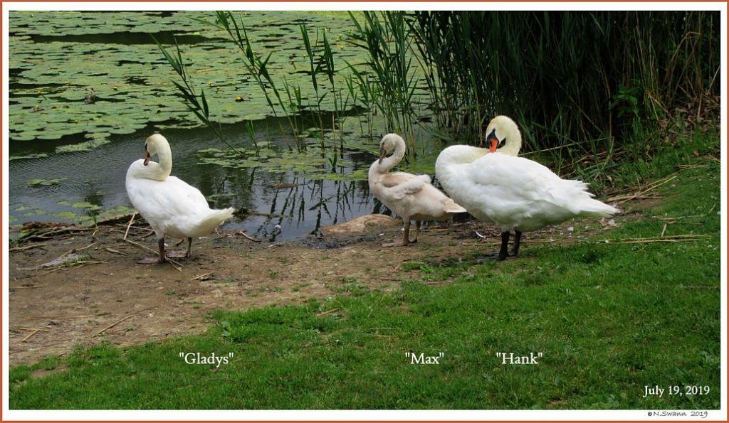 Mute Swans Hank Gladys Max