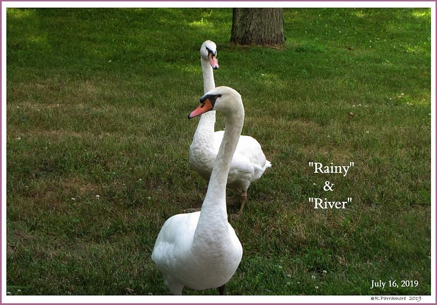 New Mute Swan Pairing  Rainy River