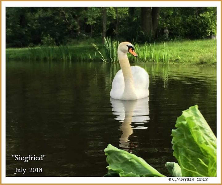 Male Mute Swan Siegfried