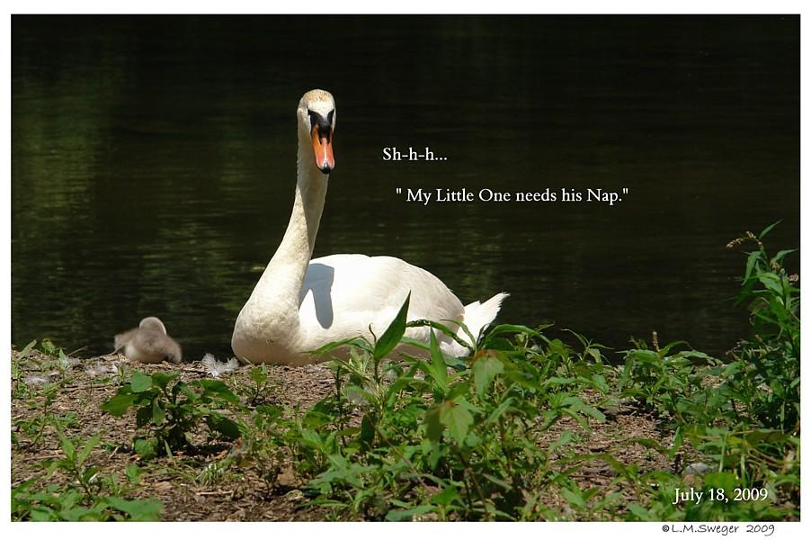 Swan Body Language