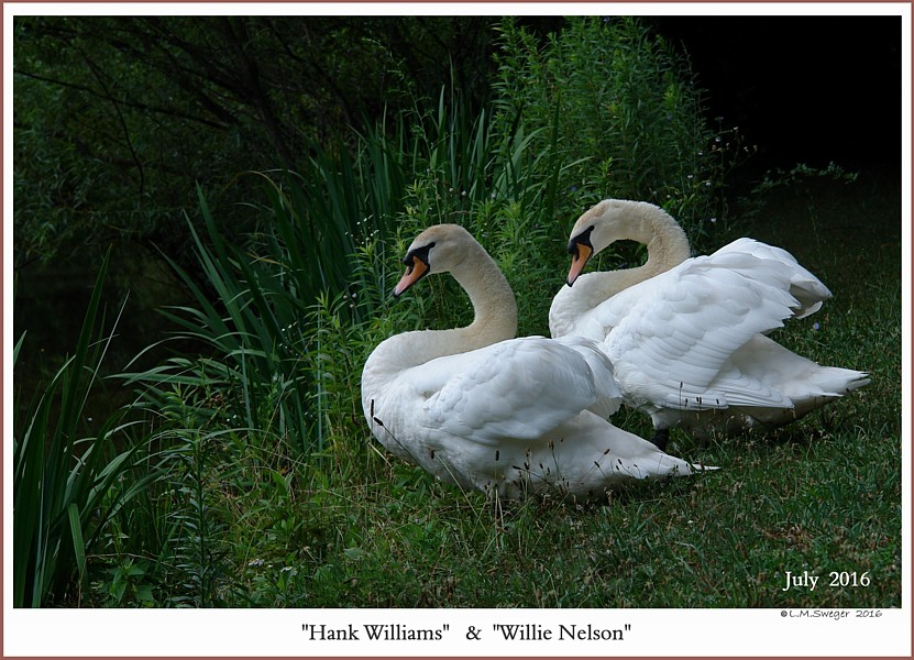 Hank Williams Willie Nelson   Mute Swan Males