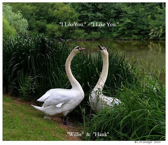 Swans I Like You